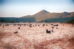 Landscape of sheep Royalty Free Stock Photography