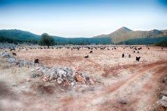Landscape of sheep Royalty Free Stock Photo