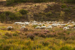 Landscape with Sheep Stock Images