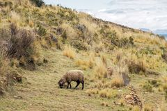 Landscape with sheep. High altitude landscape with sheep eating dry grass in Bolivia royalty free stock image