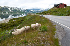 Landscape with sheep, road and mountains, Norway. Landscape with sheep eating grass, mountain lake, road and mountains, Norway Royalty Free Stock Image