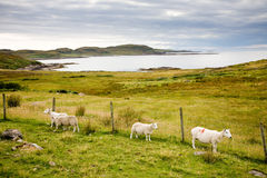 Landscape with sheep, Scotland Stock Image