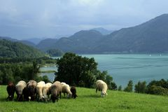 Landscape with sheeps, lake and mountains Royalty Free Stock Photos