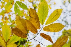 Landscape shot of autumn leaves on a branch shot from below royalty free stock photo