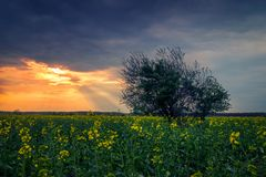 Landscape shot of a canola colza agriculture field with sun rays coming out from the clouds and a tree in the foreground stock images
