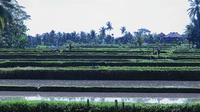 Landscape shot of rice fields and farmers working. Handheld wide shot in the morning with rice fields in water stock video