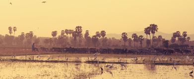 Landscape shot of rural scene. Cowherd walking along paddy field. Vintage color stock photography