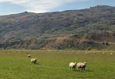 New Zealand Sheep Farm Royalty Free Stock Images
