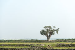 Landscape with single tree in Bangladesh Stock Images