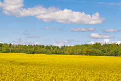 Landscape with the sky, the forest and rape field Stock Images