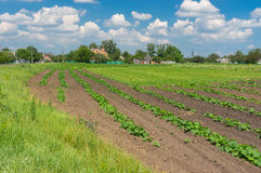 Landscape with small pumpkin field Royalty Free Stock Photos