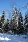 Landscape with snow-covered high trees in shadows in the winter forest after snowfall on bright sunny day Stock Image