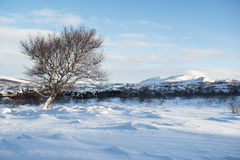 Landscape with snow dunes and a lonely winter tree, Iceland Royalty Free Stock Photo