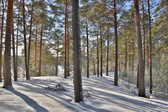 Landscape with snow pines in forest Stock Photos