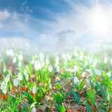 Landscape with snowdrop flowers Royalty Free Stock Photography