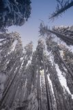 Landscape of the snowy dense forest in a mountains. View of snow-covered tall firs and impassable snowdrifts. royalty free stock image