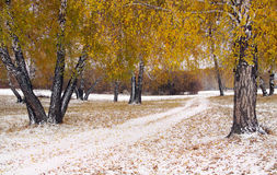Landscape with a snowy lane among yellow birches in winter Royalty Free Stock Images