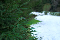 Landscape with snowy road in the winter through a pine forest Royalty Free Stock Image