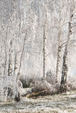 Landscape with snowy trees Stock Images