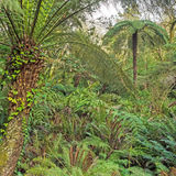 Landscape with soft tree fern Dicksonia antarctica Royalty Free Stock Images