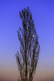 Landscape with a solitary poplar Royalty Free Stock Photography