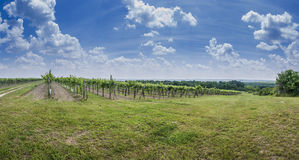Landscape and some grape Stock Images