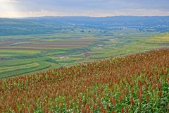 Sorghum field scenery. The landscape of sorghum field in valley stock image