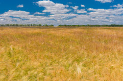 Landscape sort of wheat field in June, central Ukraine Stock Photos