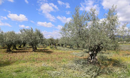 Landscape of southern France: the olive trees in Provence Royalty Free Stock Image