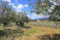 Landscape of southern France: olives in Provence Stock Photos