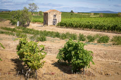 Landscape of southern France with vines Stock Photography