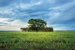 Landscape of soybean plantation in an open field Stock Photo