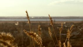 Landscape and spikelets stock footage