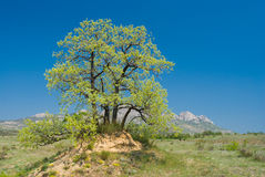 Landscape with splendid lonely oak on a hill Stock Image