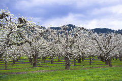 Landscape spring blooming garden orchard full of white apple flo Royalty Free Stock Images