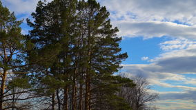 Landscape of the spring forest. Bare trees and pine trees are staggering from the wind. White clouds are slowly floating on the bl. Ue sky. Spring cloudy day stock footage