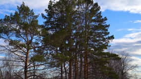 Landscape of the spring forest. Bare trees and pine trees are staggering from the wind. White clouds are slowly floating on the bl. Ue sky. Spring cloudy day stock video