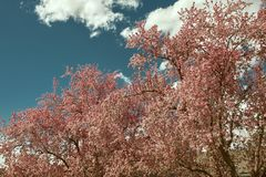 Beautiful pink cherry blossoms on a spring day royalty free stock photo