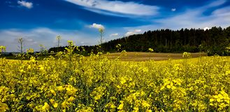 Landscape in spring with yellow rapeseed stock photography