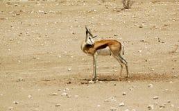 Landscape Springbok Royalty Free Stock Image