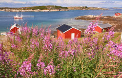 Landscape with spruce, fjord and glade with blooming fireweed Stock Images