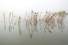 Landscape with stems of reeds reflected in water. Lake landscape in mist - stems of reeds reflected in water Stock Photo