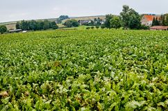 Landscape with sugar beet field. In midsummer Stock Photography