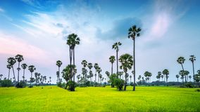 Landscape of Sugar palm and rice field Royalty Free Stock Image