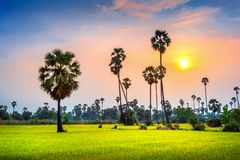 Landscape of Sugar palm and rice field at sunset Royalty Free Stock Image