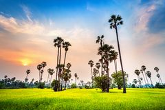 Landscape of Sugar palm and rice field at sunset Stock Images