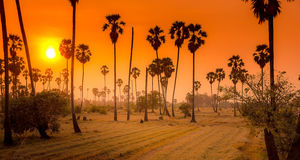 Landscape sugar palm trees and rice field in sunset Royalty Free Stock Image