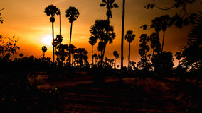 Landscape sugar palm trees and rice field in sunset Royalty Free Stock Photos