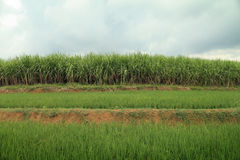 Landscape of sugarcane field Stock Images