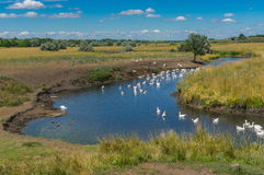 Landscape with Sukha Sura and flock of home gooses enjoying with water at summer season Stock Image